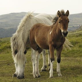 dartmoor-pony-and-mother