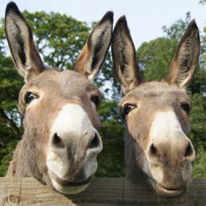 2-donkeys-at-the-Donkey-Sanctuary