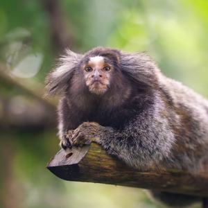 Marmoset Monkeys at Crealy