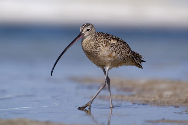 Curlew bird watching guide