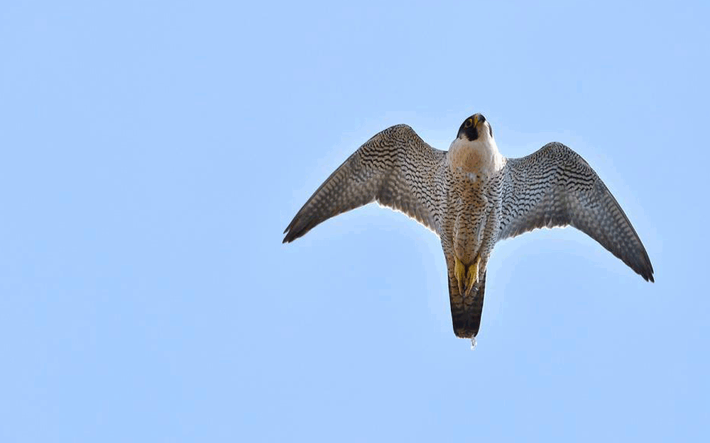 Peregrine Falcon seen flying above Ladram Bay