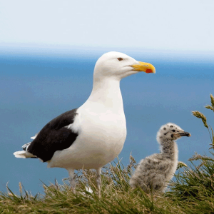 Sea gull with chick at Ladram Bay